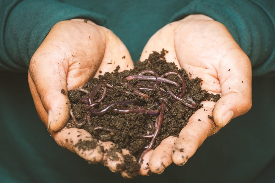 adding red worm in compost pile