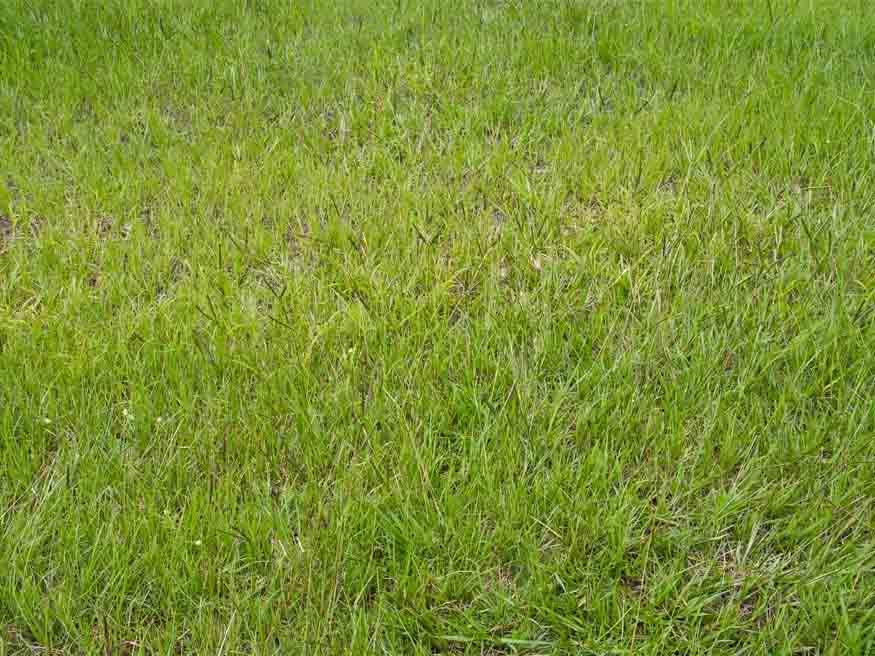 Bahiagrass - (Paspalum Notatum)