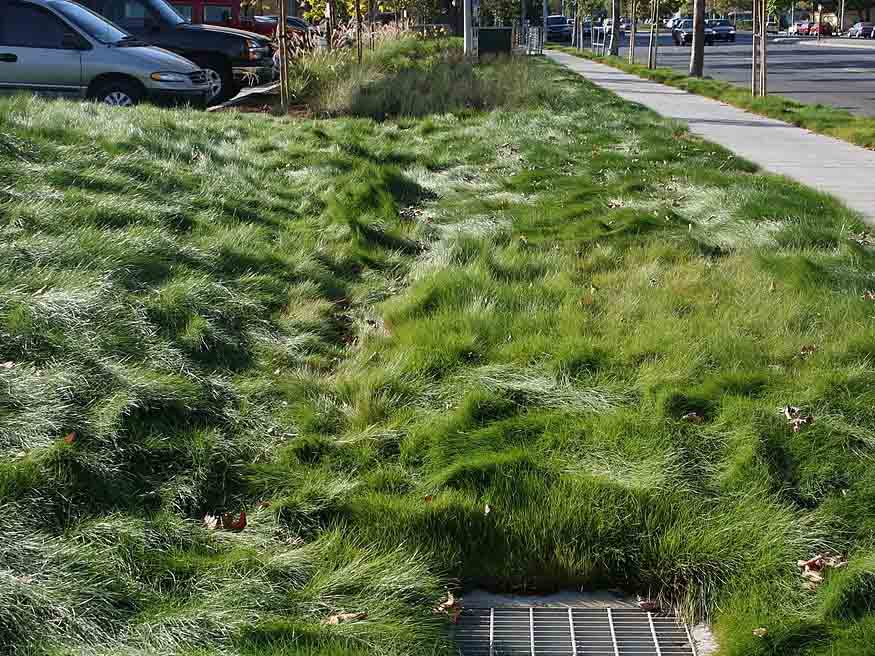 fescue grass for cool climates
