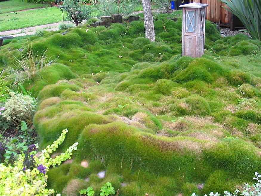 Zoysia Grass - (Zoysia)