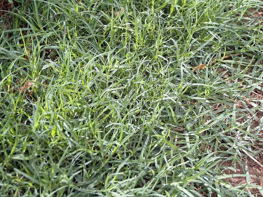 bermuda grass is the fasting growing warm season grass
