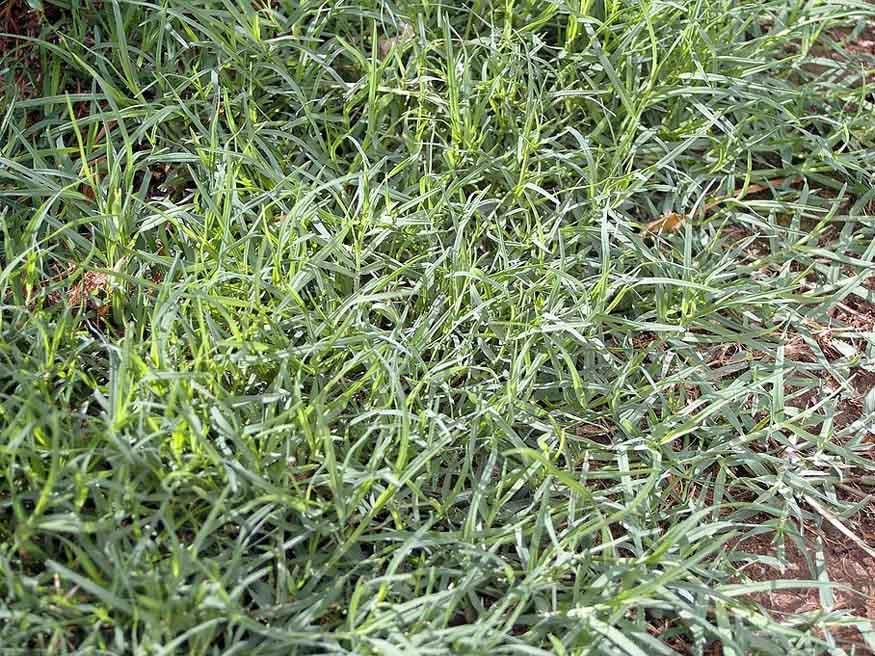 Bermuda Grass - (Cynodon Dactylon)