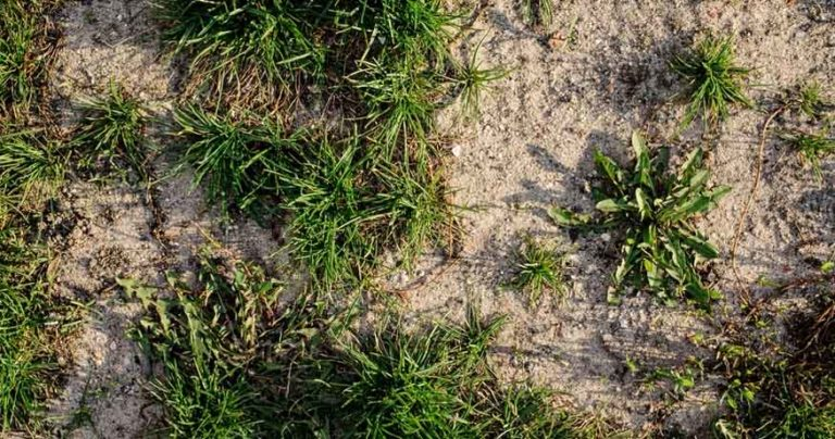 best grass for sandy soil