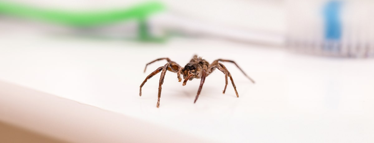 Spider on a bathroom countertop