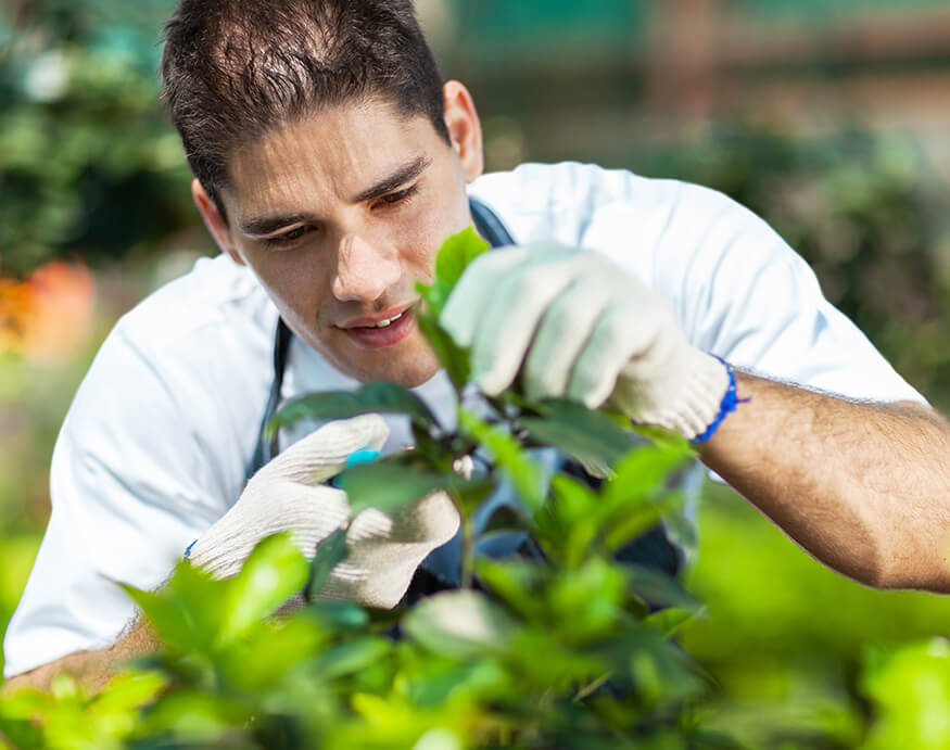 young man inspecting leaves for plant diseases