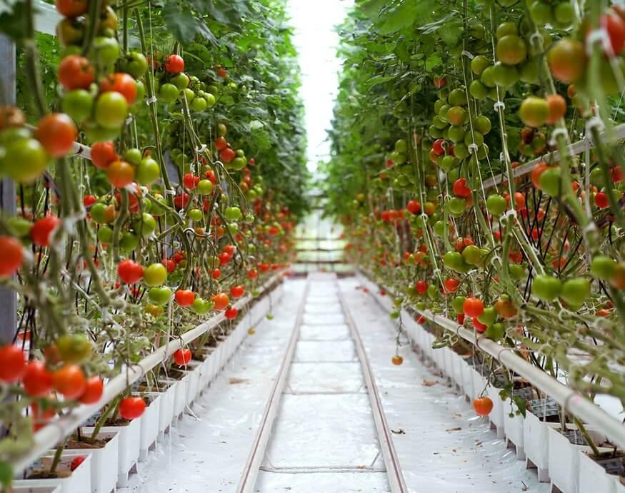 tomato plants inside a greenhouse