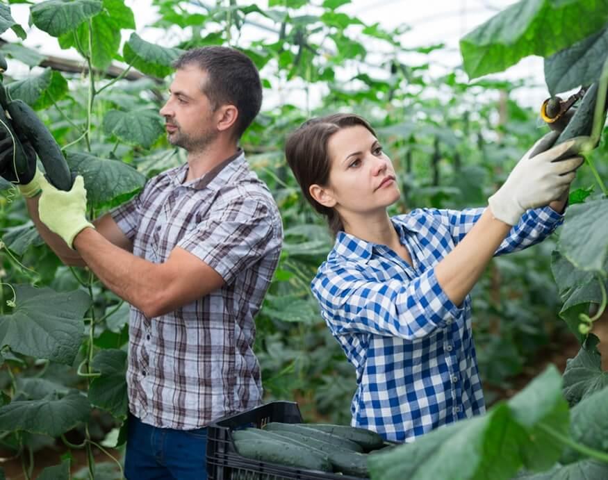 couple harvesting cucumbers