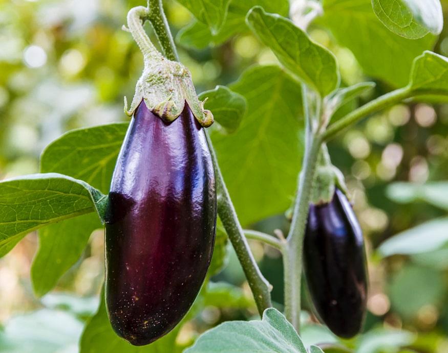 picture of ripe eggplant