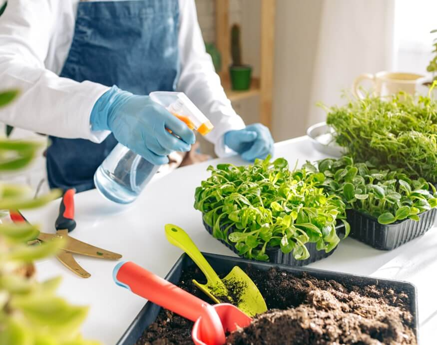 gardener spraying microgreens with water
