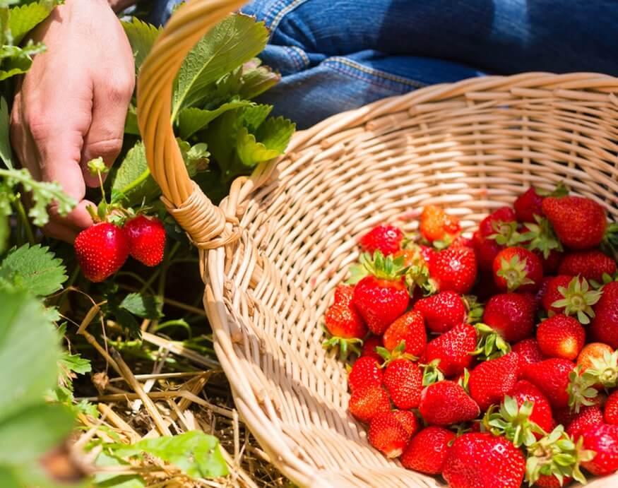 woman harvesting strawberries