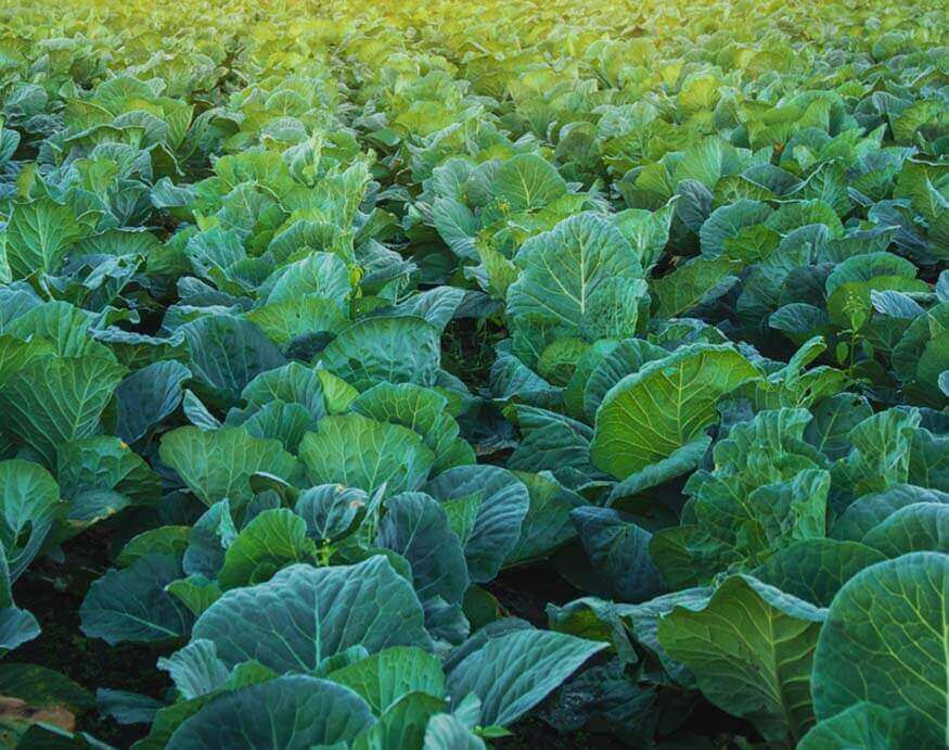 garden with rows of healthy collard greens