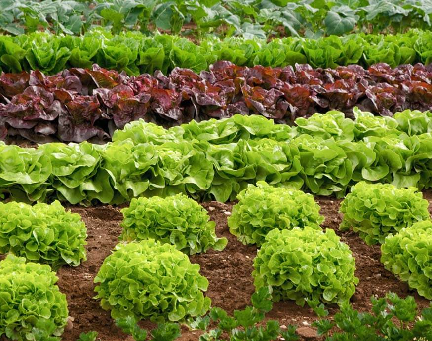 rows of ready-to-harvest lettuce