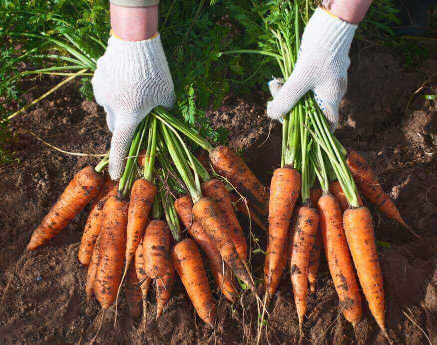 woman harvesting carrots