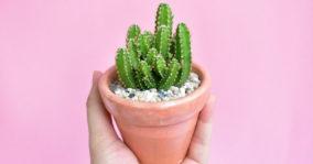 Fairy Castle Cactus Care Information – Acanthocereus tetragonus