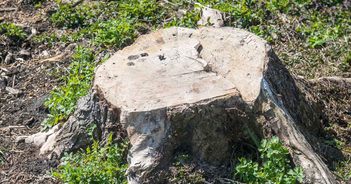 dry and old tree stump