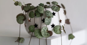 Variegated String of Hearts – Ceropegia Woodii Variegata