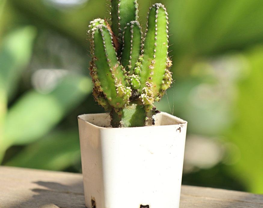 Fairy Castle Cactus in a white pot