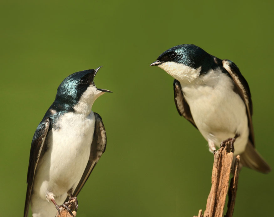 swallows on a tree branch