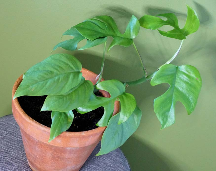 a young mini monstera plant placed at an area with indirect sunlight
