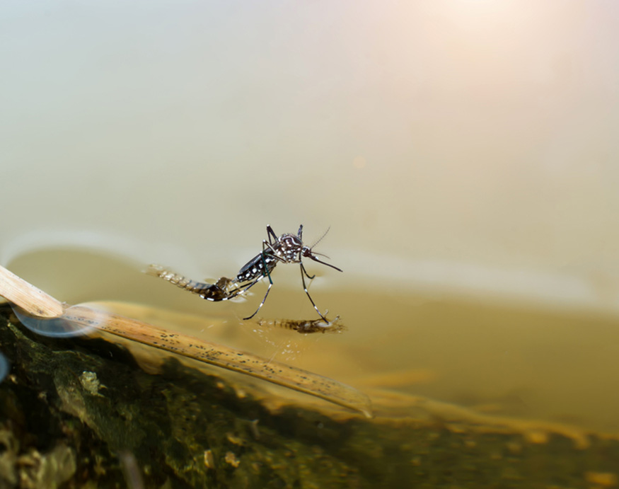 a macro picture of a mosquito on water