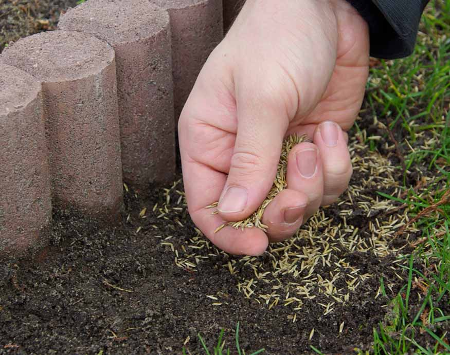 close-up picture of a man throwing grass seed