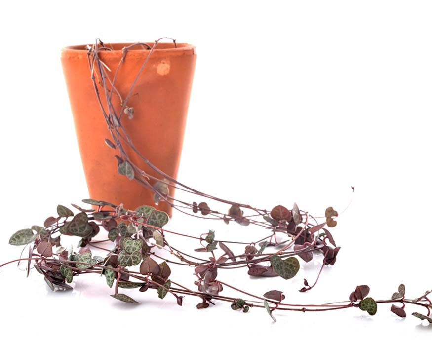 string of hearts in a pot