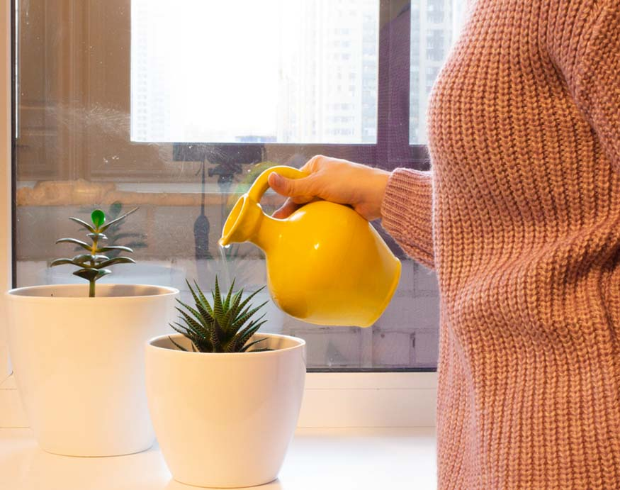 woman watering a small Zebra plant