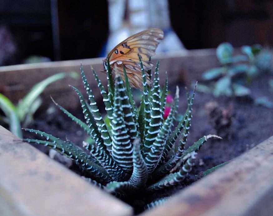 Zebra cactus out in the garden