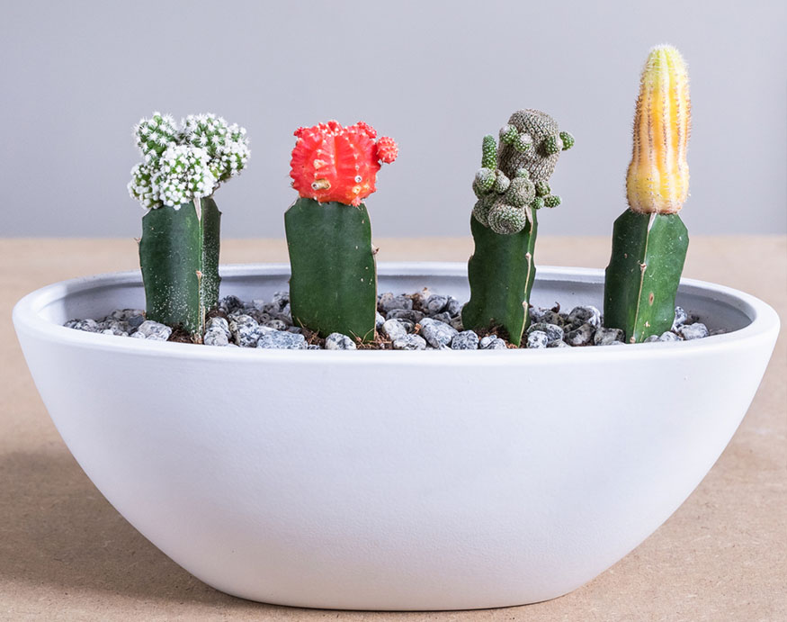 four moon cacti in one pot