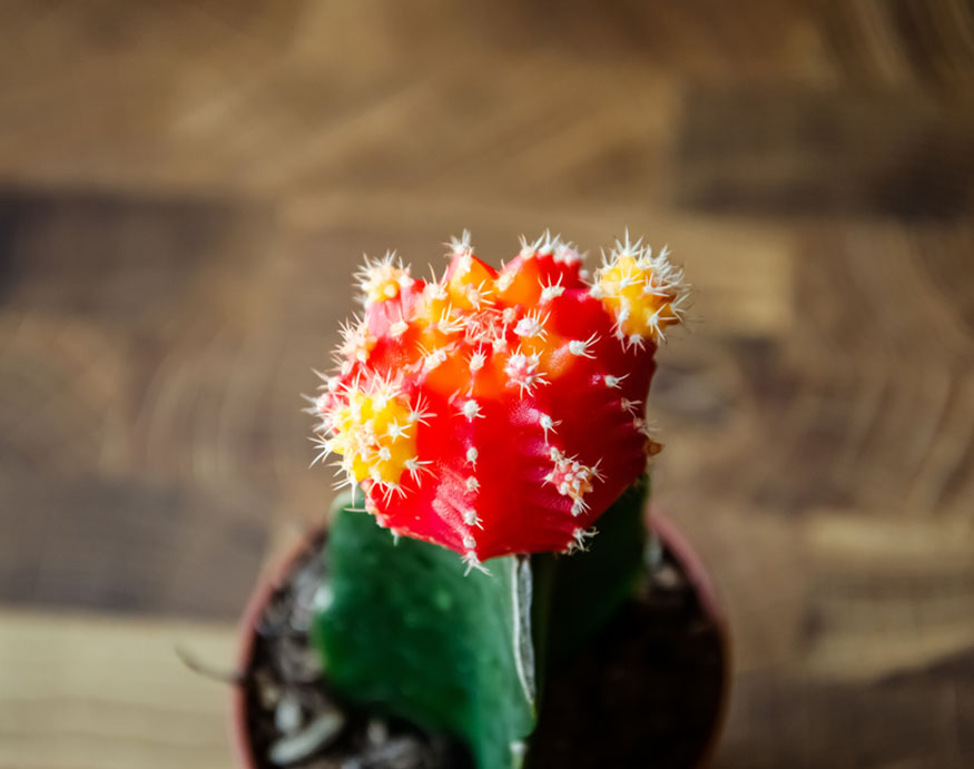 close picture of moon cactus' flower