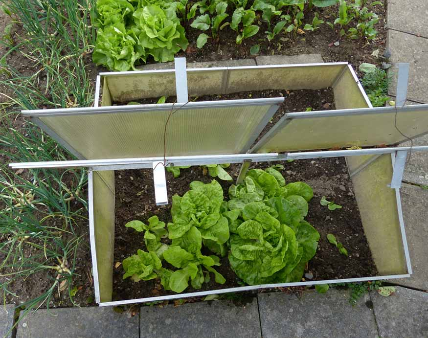 photo of a cold frame with vegetables