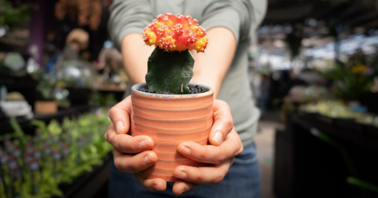 woman holding a pot of ruby ball moon cactus