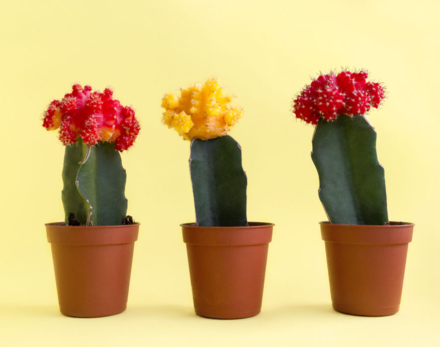 colorful moon cacti