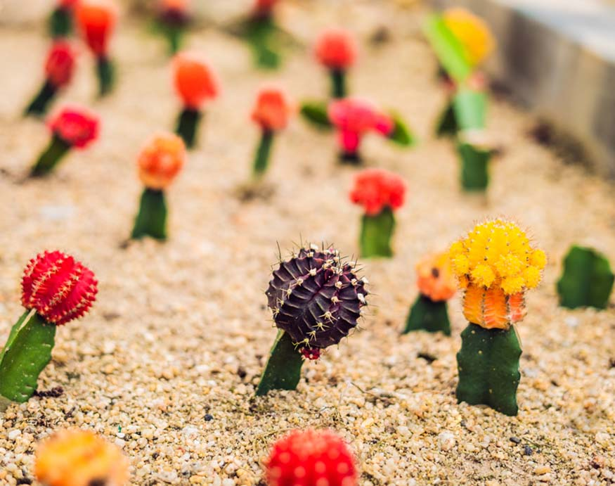 grafted moon cactus outdoors