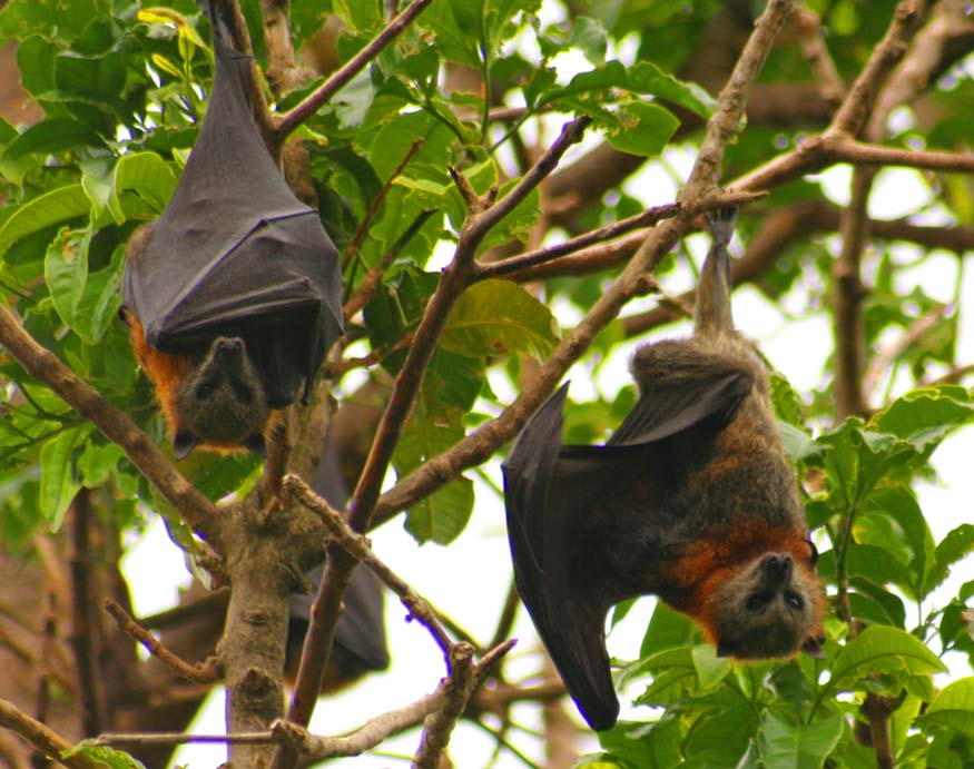 bats hanging down from a tree