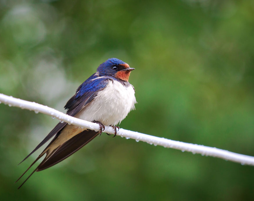 adult barn swallow resting on a wire