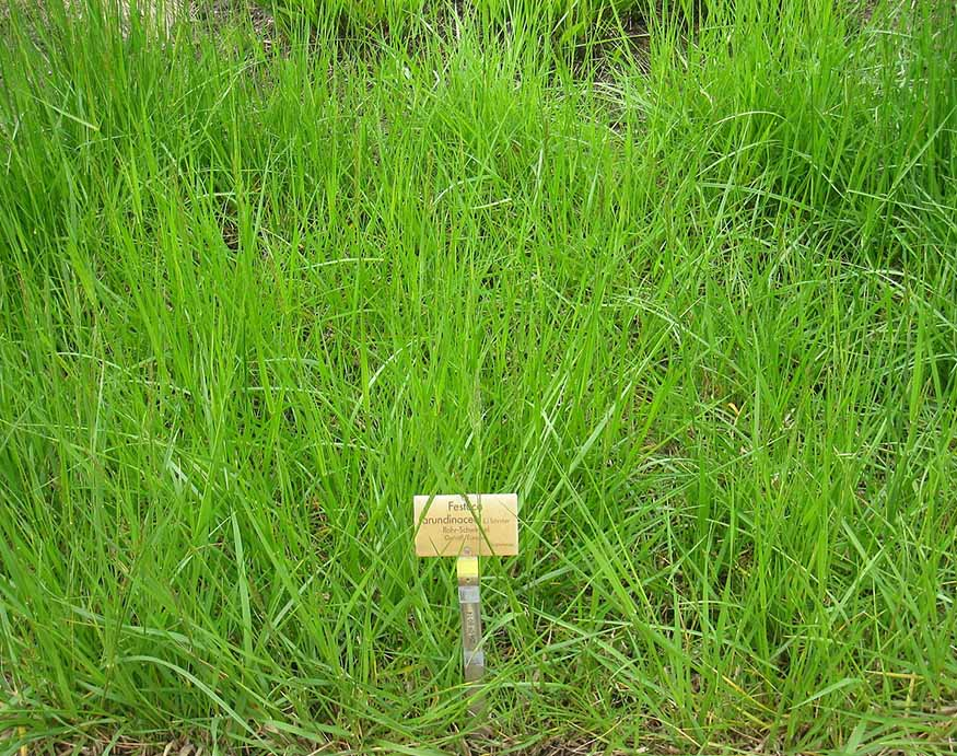 Fine fescue is a fine texture grass with soil requirements suitable for Ohio