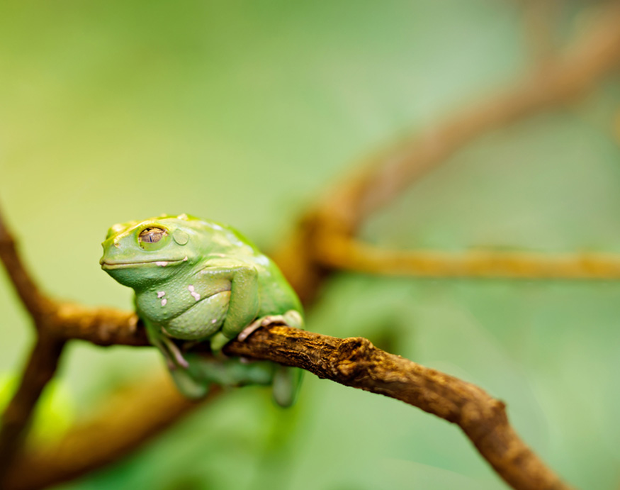 american green tree frog can eat mosquitoes