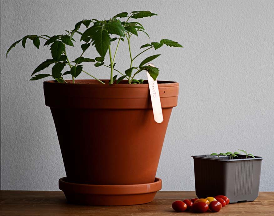ideal growing environment for tomatoes