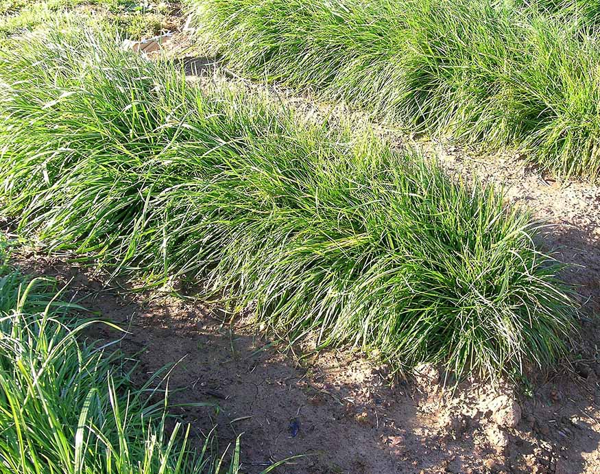 Perennial ryegrass is a moderate tolerate grass seed for Ohio