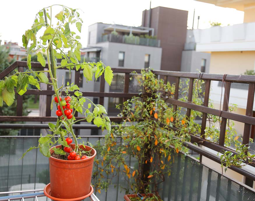 a pot of tomato plant placed in the balcony