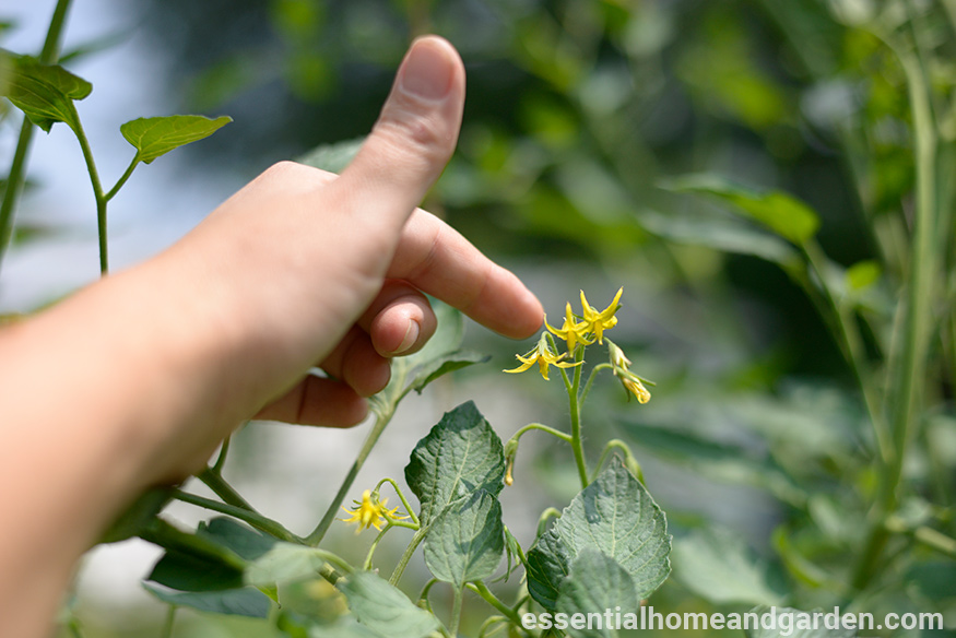 tapping tomato flowers to pollinate