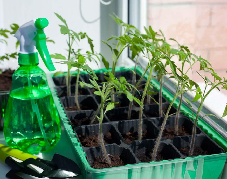 growing tomato seedlings indoors