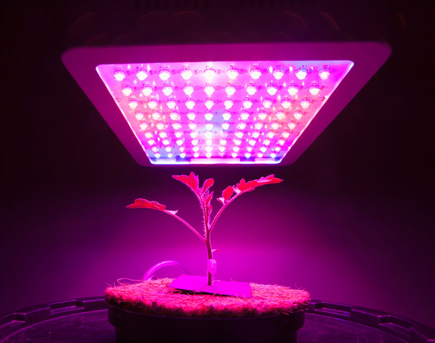 young tomato plant growing under a grow light