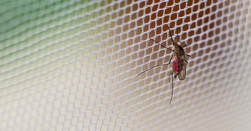 a mosquito on a fine mesh screen