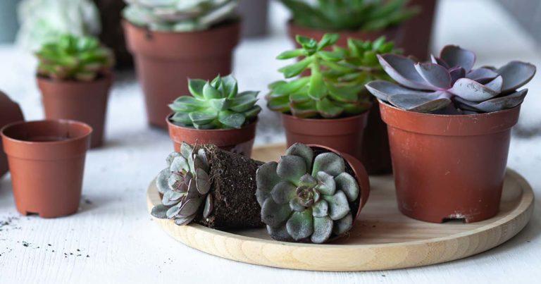 A picture of different echeveria in pots