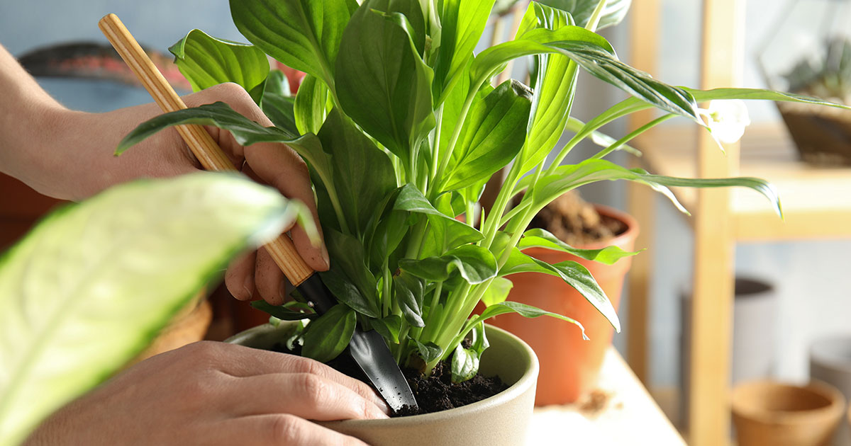 A gardener using a small shovel to aerate soil in potted plants