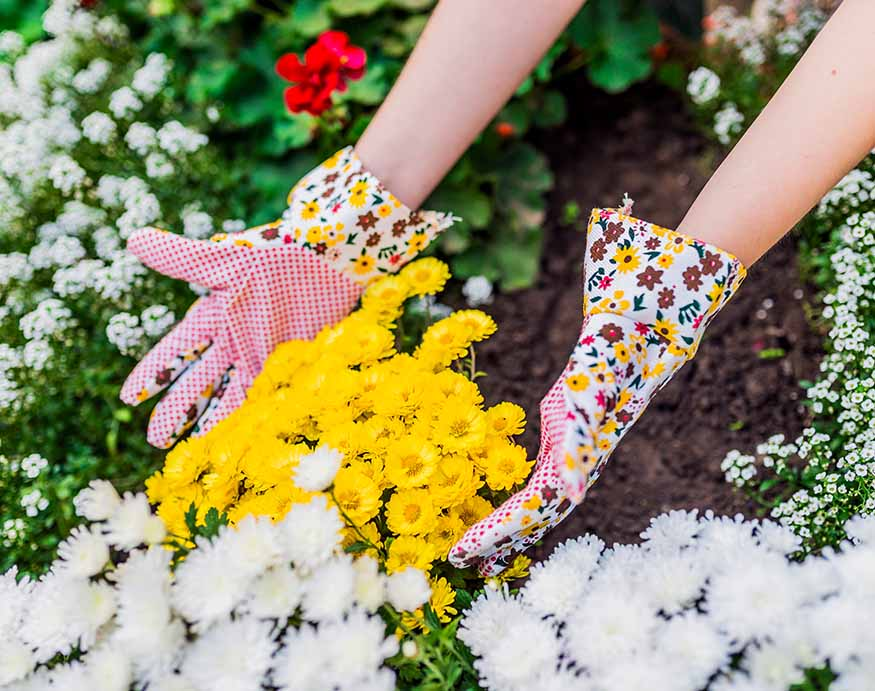 woman planting mosquito-repellent Chrysanthemums plant