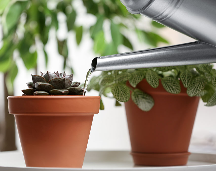 A picture showing watering an echeveria succulent